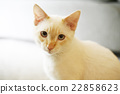 貓咪 白貓 舒適 22858623
