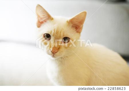 猫咪 白猫 可爱 22858623
