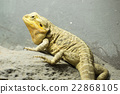 bearded dragon 22868105