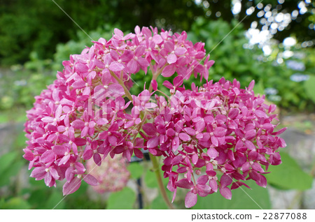 Pink annabelle flowers 22877088