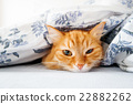 Cute ginger cat lying in bed under a blanket 22882262