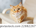 Cute ginger cat is sitting on chair. Fluffy pet  22882267