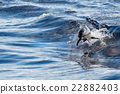 common dolphin jumping outside the ocean 22882403