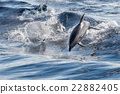 common dolphin jumping outside the ocean 22882405