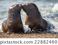 baby newborn sea lion on the beach while kissing 22882460