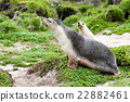 newborn australian sea lion on bush background 22882461