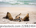 australian sea lion relaxing on the beach 22882464