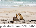 australian sea lion relaxing on the beach 22882465