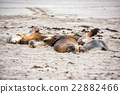australian sea lion relaxing on the beach 22882466