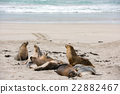 australian sea lion relaxing on the beach 22882467