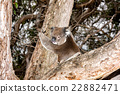 Wild koala on a tree while looking at you 22882471