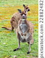 Kangaroo looking at you on the grass background 22882482