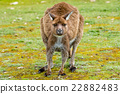 Kangaroo looking at you on the grass background 22882483