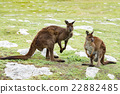 Kangaroos mother father and son portrait close up 22882485