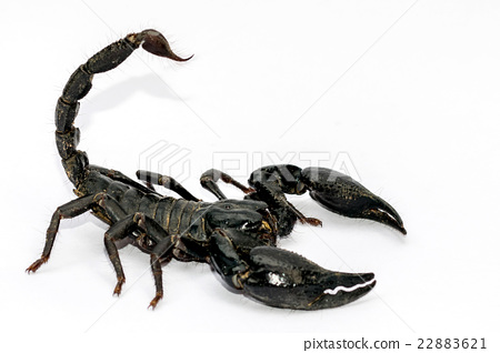 Black Scorpion on white background. 22883621