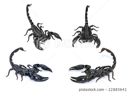 Black Scorpion isolated on white background. 22883641