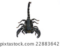 Black Scorpion on white background. 22883642