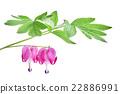 Dicentra spectabilis flower 22886991