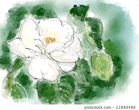 White camellia illustration 22889488