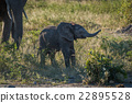 Baby elephant raising its trunk beside mother 22895528