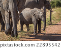 Baby elephant waiting to cross dirt track 22895542