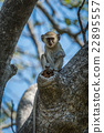 Baby vervet monkey holds branch facing camera 22895557