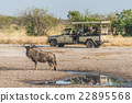 Blue wildebeest beside puddle with jeep behind 22895568