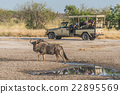 Blue wildebeest by puddle with jeep behind 22895569