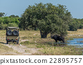 Cape buffalo in river with jeep alongside 22895757