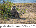 Chacma baboon mother nursing baby on riverbank 22895775