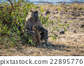 Chacma baboon mother with baby beside bush 22895776