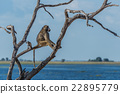 Chacma baboon sitting by river in tree 22895779