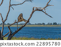 Chacma baboon sitting in tree by river 22895780