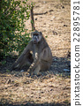 Chacma baboon sitting on ground by bush 22895781