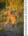 Chacma baboon walking with baby on back 22895783