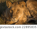Close-up of lion lying down at sunset 22895835