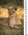 Close-up of lioness on grass turning head 22895845