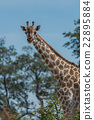 Close-up of South African giraffe among trees 22895884