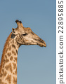 Close-up of South African giraffe in profile 22895885