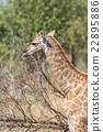 Close-up of South African giraffe in sunlight 22895886