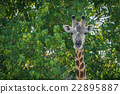 Close-up of South African giraffe in trees 22895887