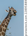 Close-up of South African giraffe opening mouth 22895889
