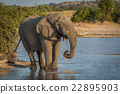 Elephant at dusk drinking from water hole 22895903