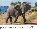 Elephant crossing dirt track facing camera 22895910