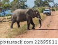 Elephant crossing track in front of jeep 22895911