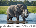 Elephant in river squirting jet of water 22895938
