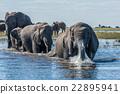 Elephant in spray leads herd across river 22895941