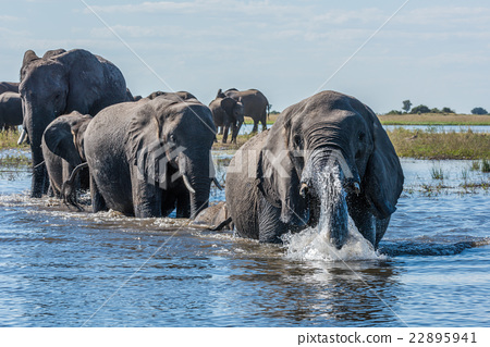 Elephant in spray leads herd across river 22895941