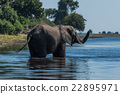 Elephant stands in shallow river raising trunk 22895971