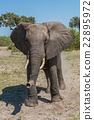 Elephant staring at camera in grassy clearing 22895972